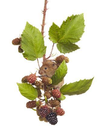Bank Vole (Clethrionomys Glareolus) Feeding On Blackberries, Worcestershire, England