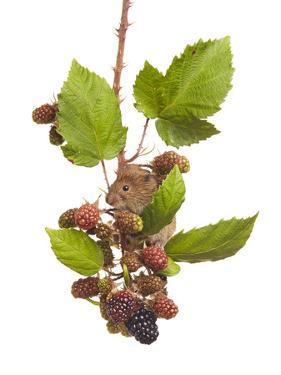 Bank Vole (Clethrionomys Glareolus) Feeding On Blackberries, Worcestershire, England by Tim Hunt