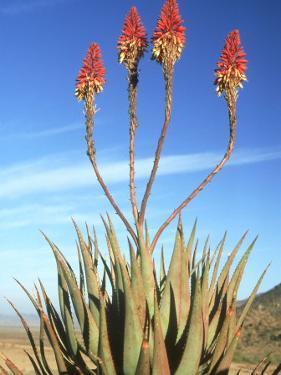 Aloe Glauca, Namaqualand, South Africa by Tim Jackson