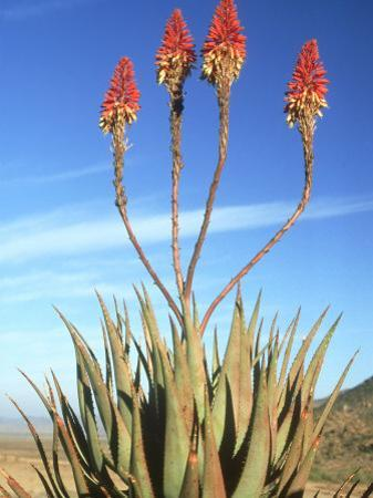 Aloe Glauca, Namaqualand, South Africa