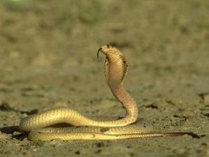 Cape Cobra, Yellow Form, Kalahari Gemsbok National Park, Sa by Tim Jackson