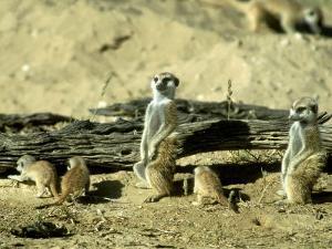 Meerkat (Suricate), Adults Watching Over Young Pups, Kalahari Gemsbok National Park by Tim Jackson