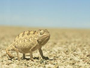 Namaqua Chameleon, Namib Desert, Nambia by Tim Jackson