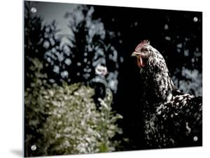 Black Spotted Rooster in Field by Tim Kahane