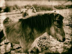 Suffolk Ponies by Tim Kahane