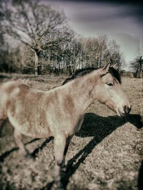 Suffolk Pony by Tim Kahane
