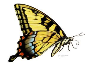 Tiger Swallowtail Butterfly by Tim Knepp