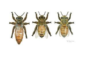 Worker, Drone, and Queen Honey Bees by Tim Knepp
