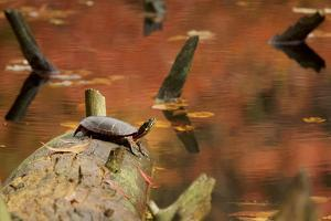 A basking Eastern Painted Turtle, Chrysemys picta. by Tim Laman