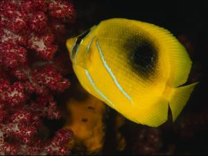 A Bennett's Butterfly Fish Swimming Near Pink Soft Coral by Tim Laman
