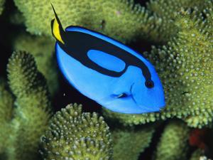 A Bright Blue Palette Surgeonfish, Paracanthurus Hepatus by Tim Laman