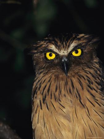 A Buffy Fish Owl by Tim Laman