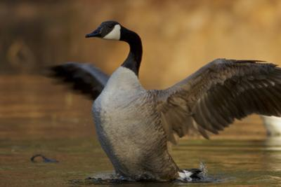 A Canada Goose flaps its wings at the pool at Wyman Meadow next to Walden Pond. by Tim Laman