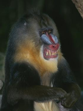 A Captive Adult Male Mandrill, Mandrillus Sphinx, from Africa by Tim Laman