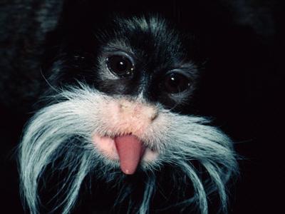 A Captive Emperor Tamarin Sticks its Tongue Out by Tim Laman