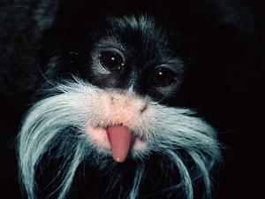 A Captive Emperor Tamarin Sticks its Tongue Out by Tim Laman