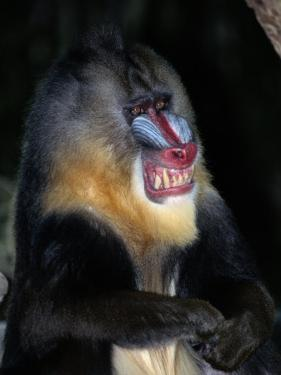 A Captive Mandrill (Papio Sphinx) Shows its Teeth in Warning by Tim Laman
