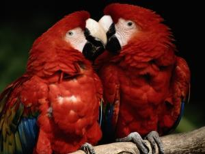 A Captive Pair of Scarlet Macaws Nuzzle Each Other on a Tree Branch by Tim Laman