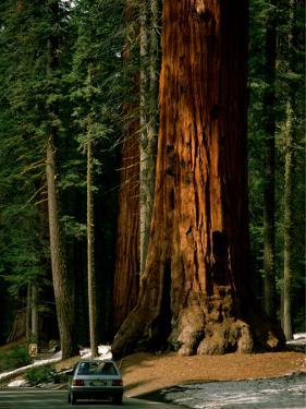 A Car Drives in Front of a Giant Sequoia Tree by Tim Laman