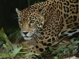 A Close View of a Captive Jaguar, Panthera Onca by Tim Laman