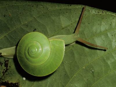 A Close View of a Green Snail on a Leaf by Tim Laman
