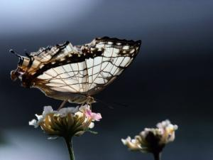 A Close View of a Map-Wing Butterfly on a Flower by Tim Laman
