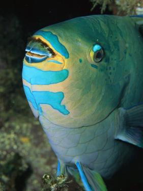 A Close View of a Parrotfish Showing the Beak-Like Mouth by Tim Laman