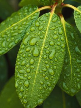 A Close View of Raindrops on Rhododendron Leaves by Tim Laman