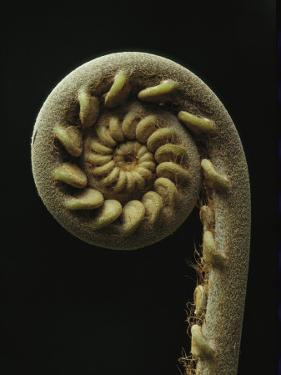 A Close View of the Spiral of a Fern Fiddlehead by Tim Laman