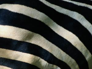 A Close View of the Stripes of a Grants Zebra by Tim Laman
