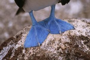 A close view of the webbed feet of a blue footed booby (Sula nebouxii). by Tim Laman