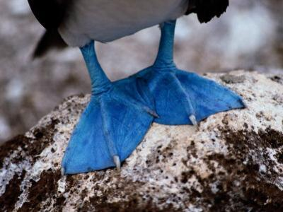 A Close View of the Webbed Feet of a Blue-Footed Booby by Tim Laman