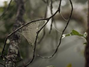A Dew Covered Spider Web Between Two Tree Branches by Tim Laman
