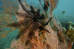 A Feather Star Crinoid on a Sea Fan by Tim Laman