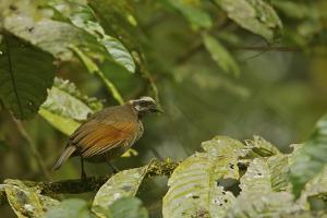 A Female Bronze Parotia Bird of Paradise in the Foja Mountains by Tim Laman