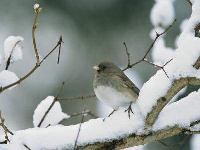 A Female Dark-Eyed Junco on a Snow-Covered Branch
