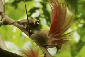A Female Goldie's Bird of Paradise Carefully Inspects One of the Males by Tim Laman
