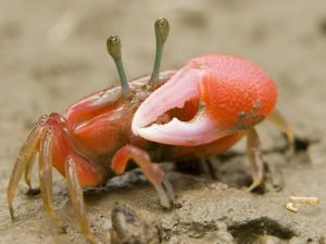 A fiddler crab forages on the mangrove mudflats at low tide by Tim Laman