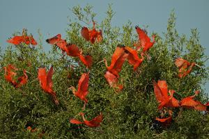 A Flock of Scarlet Ibises, Eudocimus Ruber, in a Mangrove Tree in the Orinoco River Delta by Tim Laman