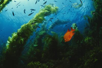 A Garibaldi Fish Swims in a Giant Kelp Forest by Tim Laman