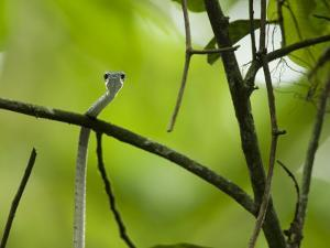 A Gastropyxis smaragdina snake in the trees on Bioko Island by Tim Laman