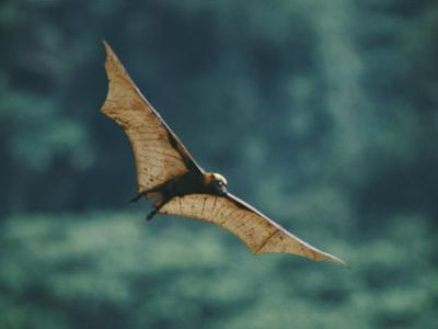 A Golden-Crowned Flying Fox in Flight by Tim Laman
