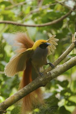 A Goldie's Bird of Paradise Adult Male Performing His Courtship Display. by Tim Laman