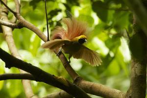 A Goldie's Bird of Paradise Adult Male Performing His Courtship Display by Tim Laman
