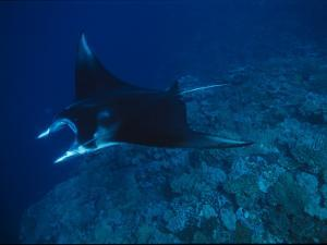 A Graceful Manta Ray Swimming over the Great Astrolabe Reef by Tim Laman