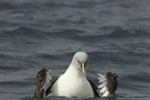 A Gray-Headed Albatross, Thalassarche Chrysostoma, Bathing in the Sea by Tim Laman