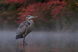 A great blue heron, Ardea herodias, in the autummn morning mist. by Tim Laman