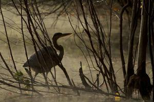 A great blue heron, Ardea herodias, wades in Walden Pond. by Tim Laman