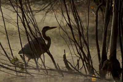 A great blue heron, Ardea herodias, wades in Walden Pond. by Tim Laman