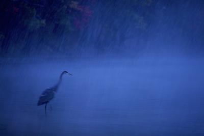 A great blue heron stands in Walden Pond as snow falls at dusk. by Tim Laman